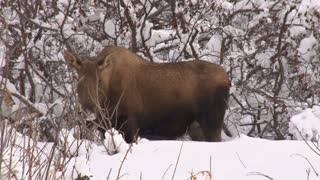 Moose Walking in Snowy Woods