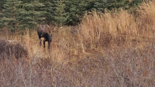Moose Walking Near Woods