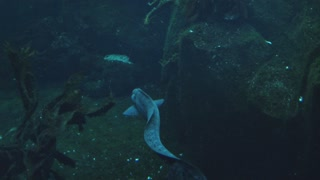Moray Eel Swimming Away