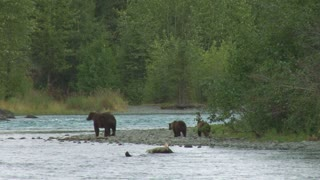 Mother Brown Bear and Cubs on Riverbank