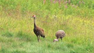 Mother Crane and Colt Walking in Meadow
