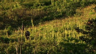 Mother Moose and Baby Walk Through Hillside