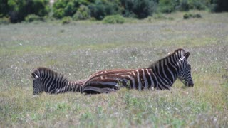 Mother zebra and baby laying in the grass in Addo Elephant National Park South Africa