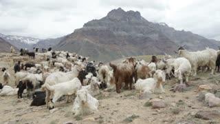 Mountain goats, Spiti Valley, Himachal Pradesh, India