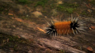Moving Caterpillar Along Log Bark