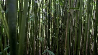 Moving Through Bamboo Forest