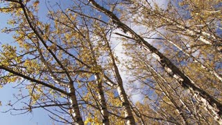Moving Through Birch Forest in Autumn