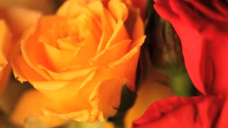 Moving Yellow Rose Close UP
