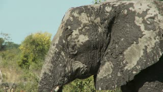 Mud Covered Elephant 2