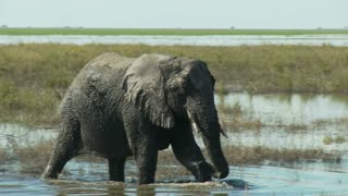 Mud Covered Elephant