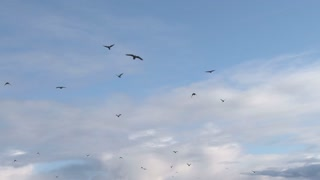Murder of Crows Flying in Cloudy Sky