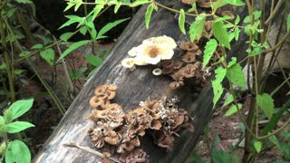 Mushrooms On A Log