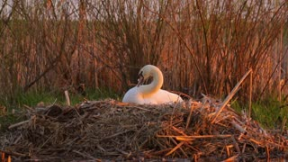 Mute Swan tidying its feathers in the nest in the evening, sunset, nature