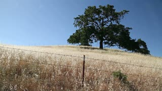 Oak Tree In Field With Barbed Wire Fence