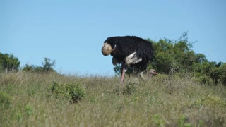 Ostrich eating grass before looking up in Addo Elephant National Park South Africa