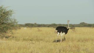 Ostrich In Field 2