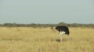 Ostrich In Field 3