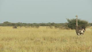 Ostrich In Field