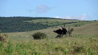 Ostrich moving his feathers in Addo Elephant National Park South Africa