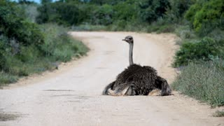 Ostrich sitting on the road moving his feathers in Addo Elephant National Park South Africa