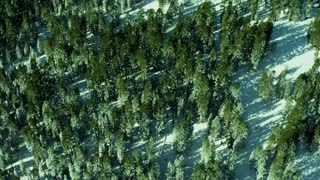 Overhead Evergreen Winter Forest