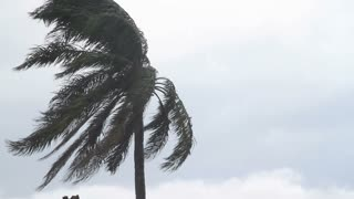 Palm Tree Blowing In Heavy Wind