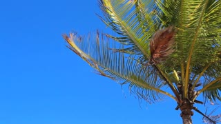 Palm Tree Waving In Puerto Rico