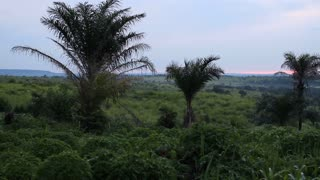 Palm Trees And African Cornfield At Sunset