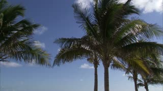 Palm Trees on Windy Day