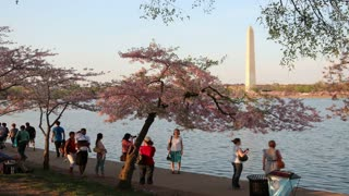 Pan Across Tourists and Cherry Blossoms at Potomac River Evening