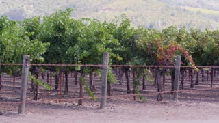 Pan Across Vineyard