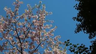 Pan Around Cherry Blossom Tops