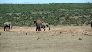 Pan from a big herd of elephants around the waterpool in Addo Elephant National Park South Africa