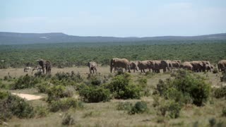 Pan from a big herd of elephants in Addo Elephant National Park South Africa