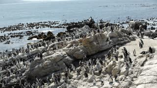 Pan from a big penguin colony at the rocks in Stony Point South Africa