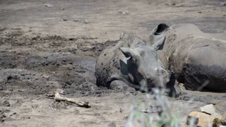 Pan from a group rhinos laying down in a dry waterpool in hluhluwe imfolozi park South Africa