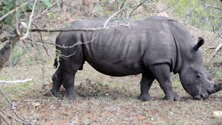 Pan from a rhino walking and eating grass in Kruger National Park South Africa