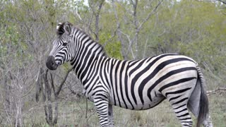 Pan from a zebra walking away in to the bush in Kruger National Park South Africa