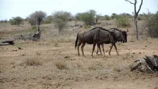 Pan from two wildebeests walking next and behind each other in Kruger National Park South Africa