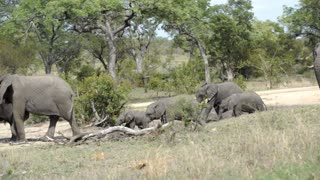 Pan from young elephants running towards the big herd of elephants in Kruger National Park South Africa