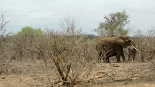 pan to an elephant eating from the bush with two calves around him in Kruger National Park South Africa