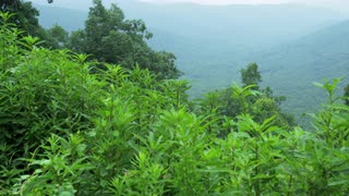 Pan Up From Overgrown Flora To Distant Mountain Ridge Line, Blue Ridge Mountains