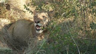 Panting Lion