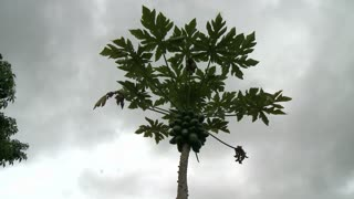Papaya Tree Cloud Timelapse