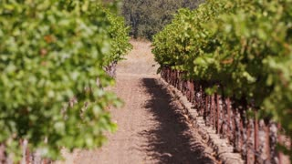 Path Through Vineyard