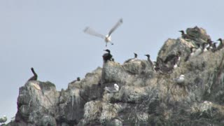 Pelagic Cormorant Defending Against Seagull Attack