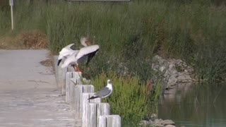 Pelican And Seagulls Near Pond