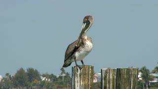 Pelican Timelapse