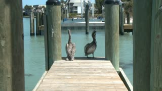 Pelicans On Pier
