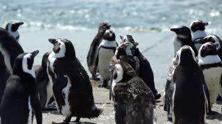 Penguin colony at the beach in Stony Point South Africa